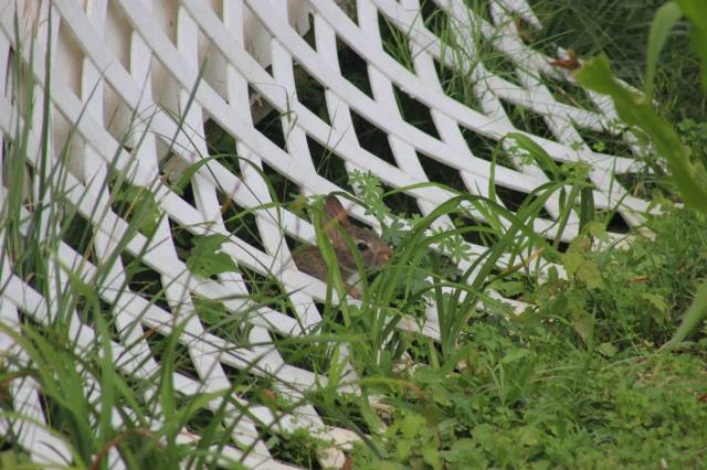 A young rabbit in my backyard  from a couple of generations ago.